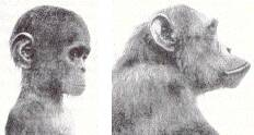 Chimpanzés infantile et adulte. (c) Naef 1926, parues in Gould 1977 Ontogeny and Phylogeny